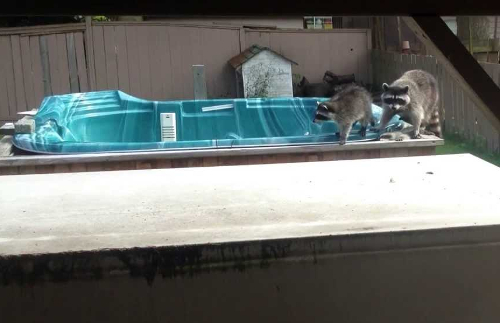 raccoon-family-in-a-hot-tub